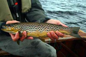 Photo:Wild brown trout