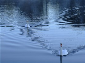 Photo:Swans frequently seen on the canal.